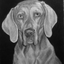 "Chara, 2012, Weimaraner Dog Portrait, Graphite Pencil Drawing on Paper, 8""x10"""
