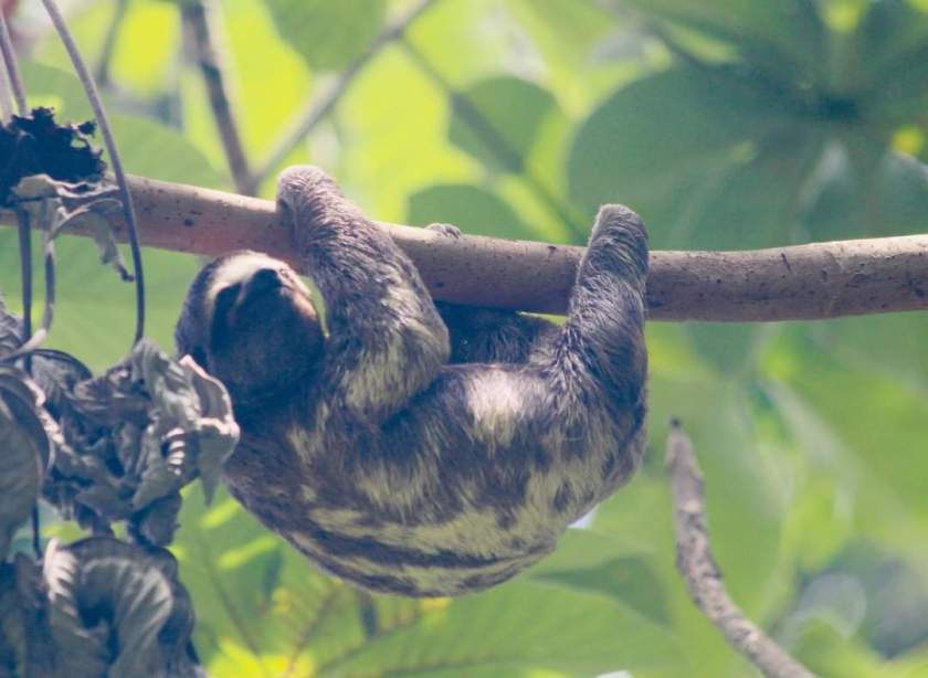 sloth in Colombia
