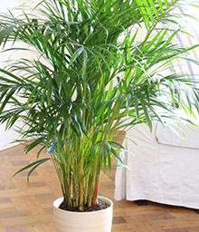 melopolitan-plantes-depolluantes-areca
