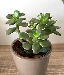 melopolitan-plantes-depolluantes-crassula
