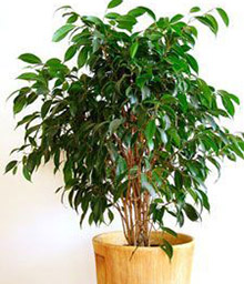 melopolitan-plantes-depolluantes-ficus