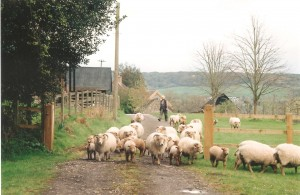 Norman  Michelle Jones Southover Portland Sheep (2) (3)