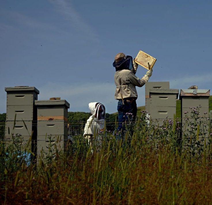 Hugo and his son Bjorn harvesting honey at Spirit Hills Alberta honey wine