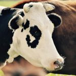 Importance Of Testing Cows For Pregnancy