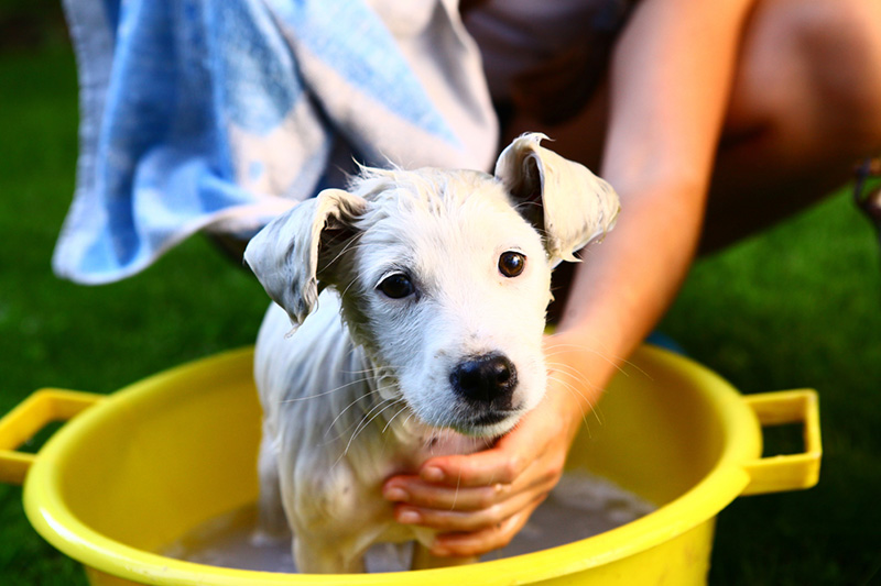 shampooing a puppy
