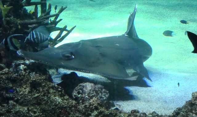 White spotted guitarfish