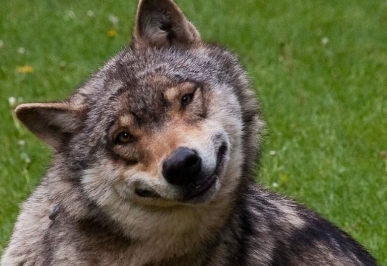 Create Meme Wolf Smile Good Wolf Pictures Funny Wolf Pictures Meme Arsenal Com