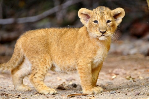 Pin On Lion