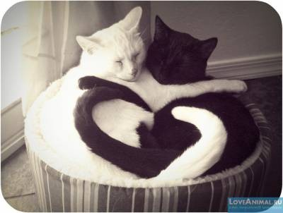 Create Meme Kits Kits Cat Black With White Cat Pictures