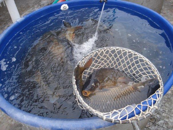 ცოცხალი თევზი
