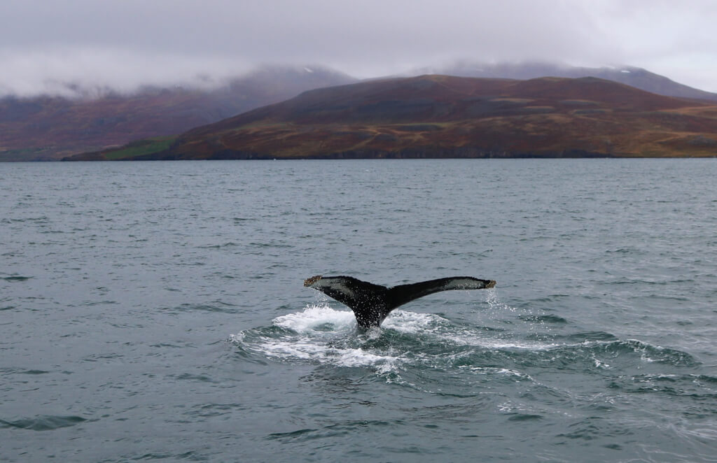 A whale shows its tail in the ocean near Hauganes, Iceland