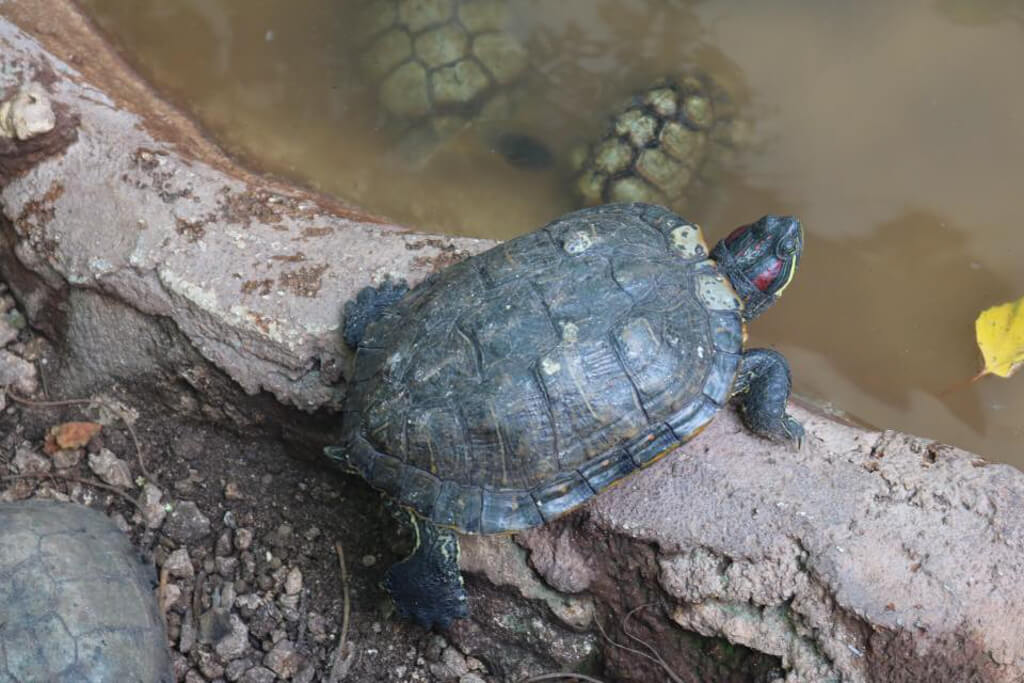 A turtle at Isla Mujeres Turtle Farm