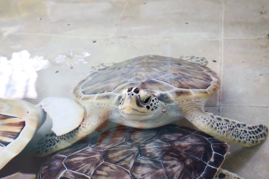 Turtles in a tank at the Turtle Farm in Isla Mujeres, Mexico