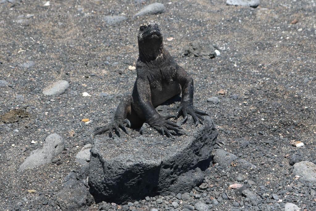 A iguana perched on a rock at Las Tintoreras, an islet near Isabela in the Galapagos Islands, Ecuador