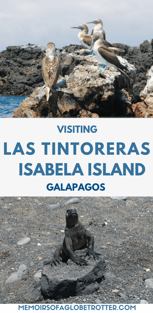 A fascinating day tour to Las Tintoreras islet near Isabela Island in the Galapagos. Here you can spot blue-footed boobies, penguins, sea turtles, sea lions, marine iguanas, and Sally Lightfoot crabs!