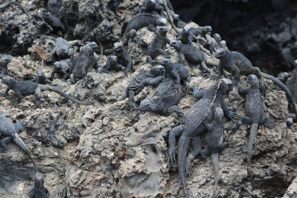 A huge pile of marine iguanas at Las Tintoreras near Isabela in the Galapagos Islands