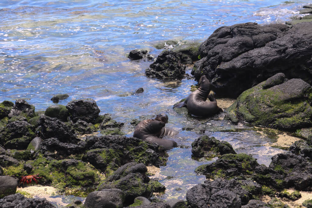 Young sea lions play at Las Tintoreras, Isabela Island