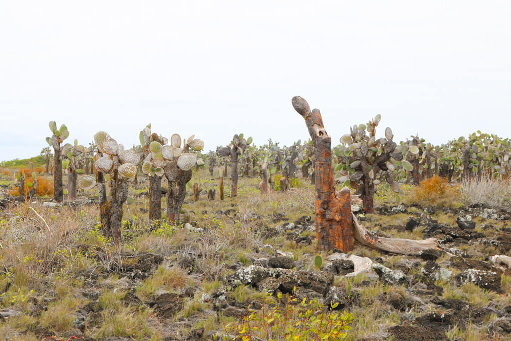 Cacti in the Galapagos near Tortuga Bay