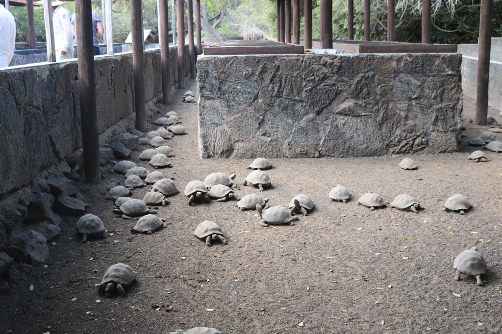 Baby tortoises at Centro de Crianza, Isabela Island