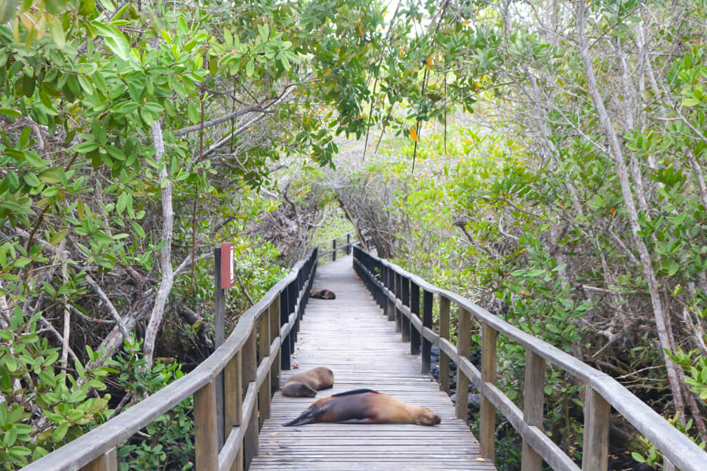 Sleeping sea lions on the path to Concha de Perla on Isabela Island.