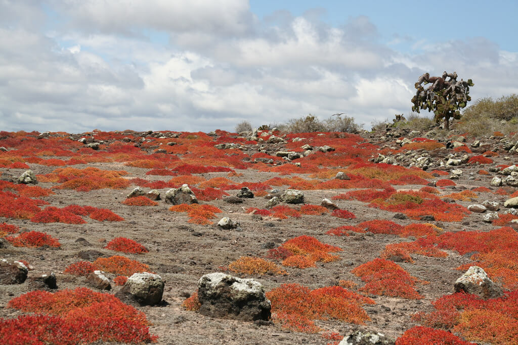 Red sesuvium plant on South Plaza, Galapagos Islands