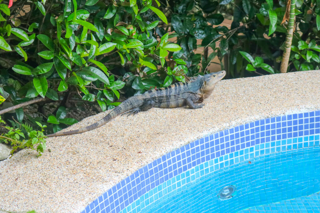 This iguana can frequently be found basking in the sun by the pool at La Mansion Inn in Quepos