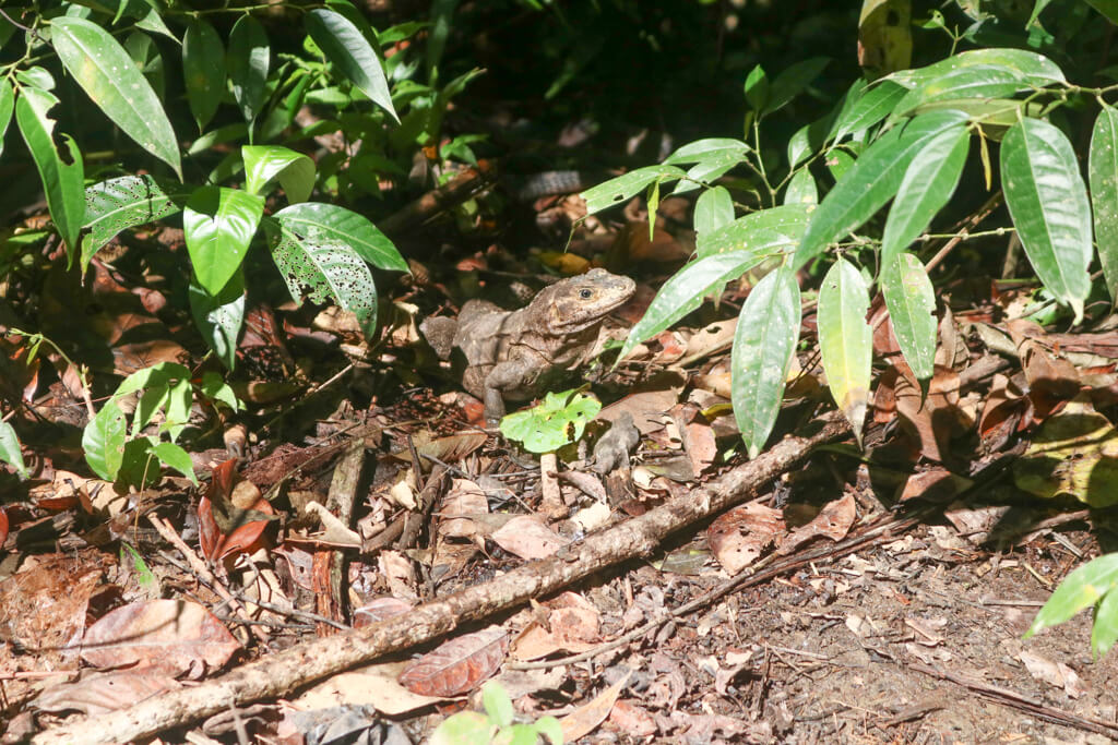 An iguana blends in with the ground in Manuel Antonio National Park