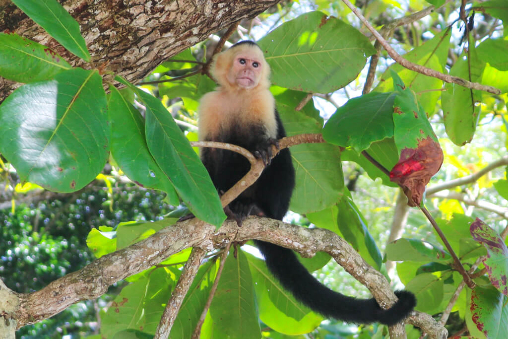 A white-faced capuchin monkey perches in a tree in Manuel Antonio National Park