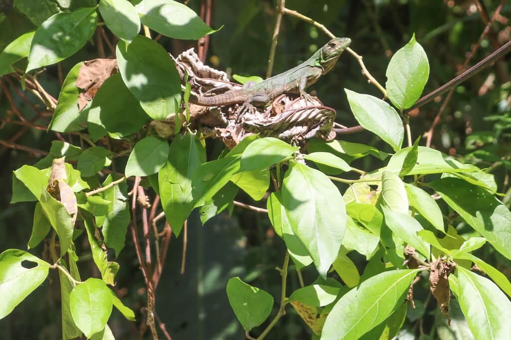 A lizard in Manuel Antonio National Park