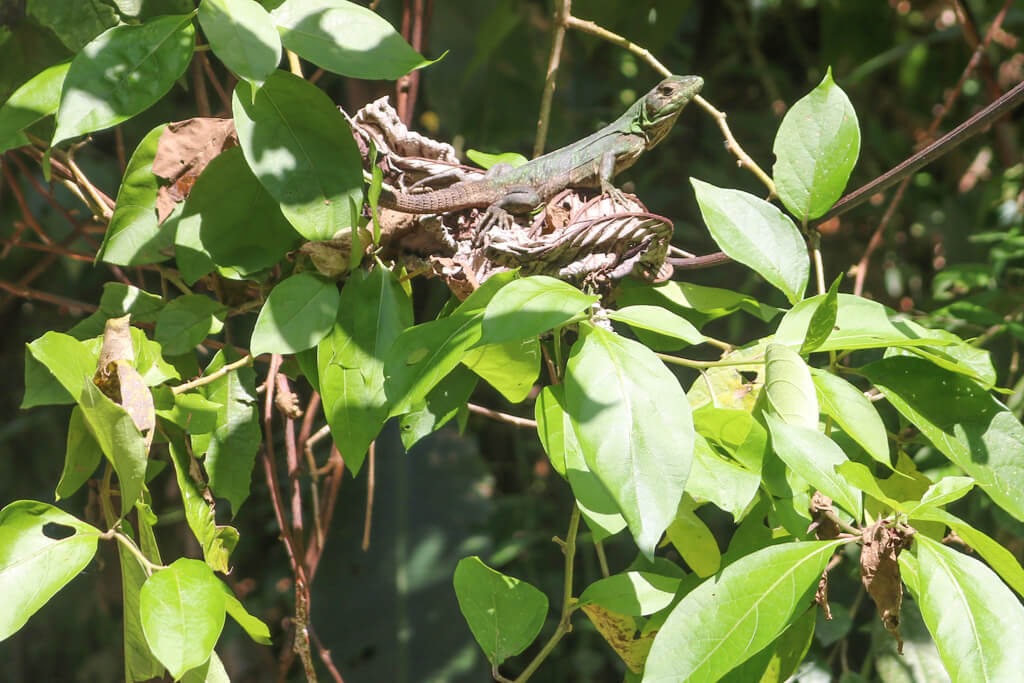 A lizard in Manuel Antonio National Park