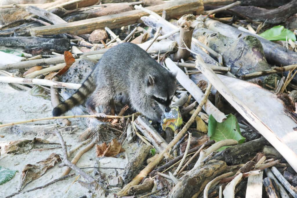 A raccoon chews on garbage in Manuel Antonio National Park