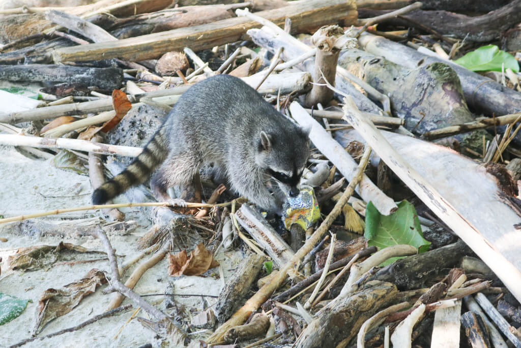 A raccoon chews on garbage in Manuel Antonio National Park