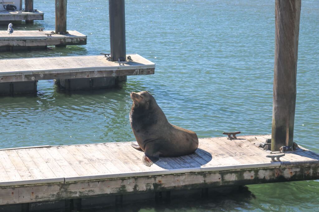 A large male sea lion rests on a dock at Pier 39 in San Francisco