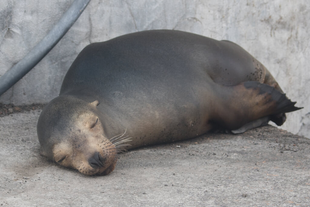 A sleepy sea lion at the main pier on Floreana Island