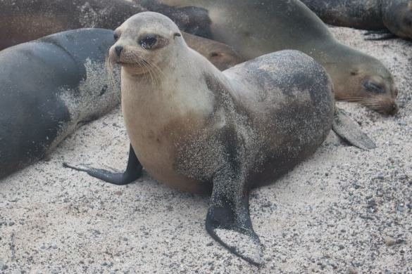 San Cristobal Island has the highest population of sea lions in the Galapagos Islands. The town of Puerto Baquerizo Moreno is the perfect place to spot sleepy sea lions