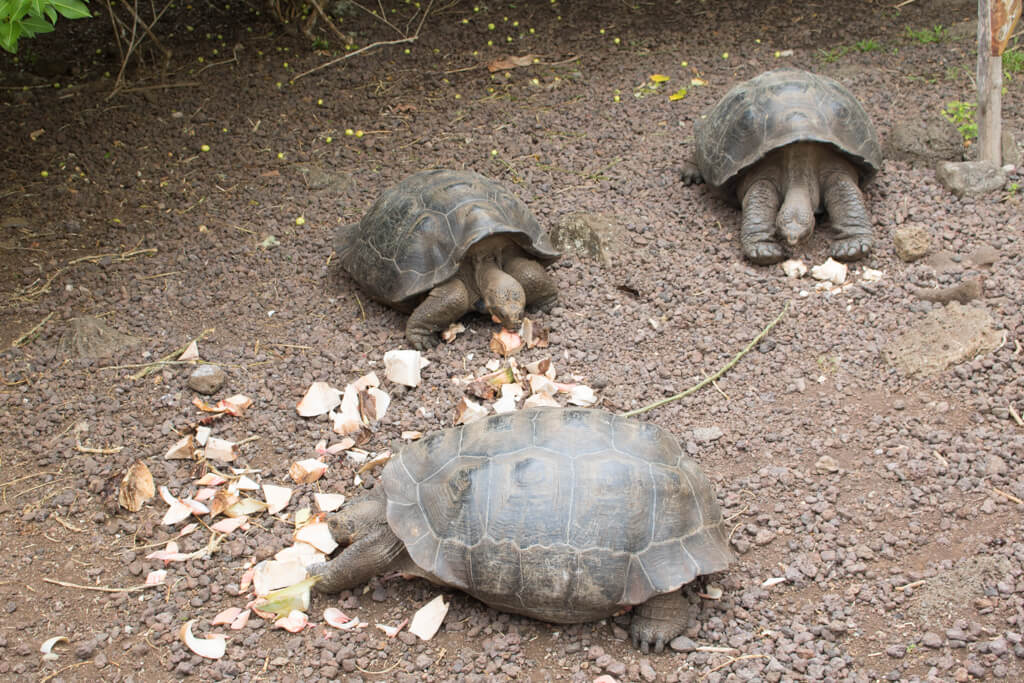 Tortoises eating at Galapaguera tortoise reserve on San Cristobal Island in the Galapagos
