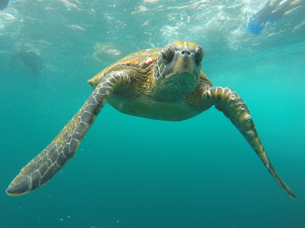 A sea turtle seen during a snorkeling tour at Kicker Rock near San Cristobal Island in the Galapagos