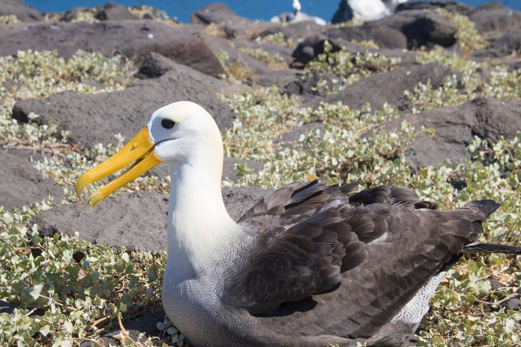 The waved albatross can only be seen on Espanola Island in the Galapagos where it comes to nest between April to December every year