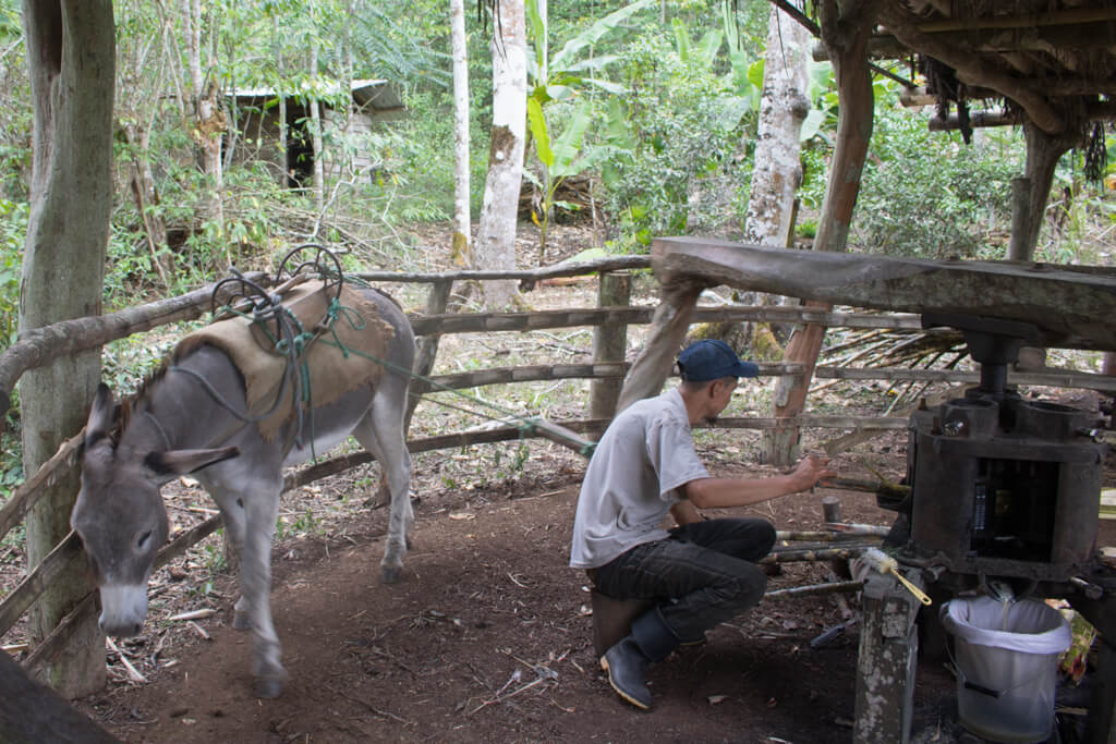 A donkey works at a trapiche mill to extract sugar cane at Highland View Ranch on Santa Cruz Island, Galapagos