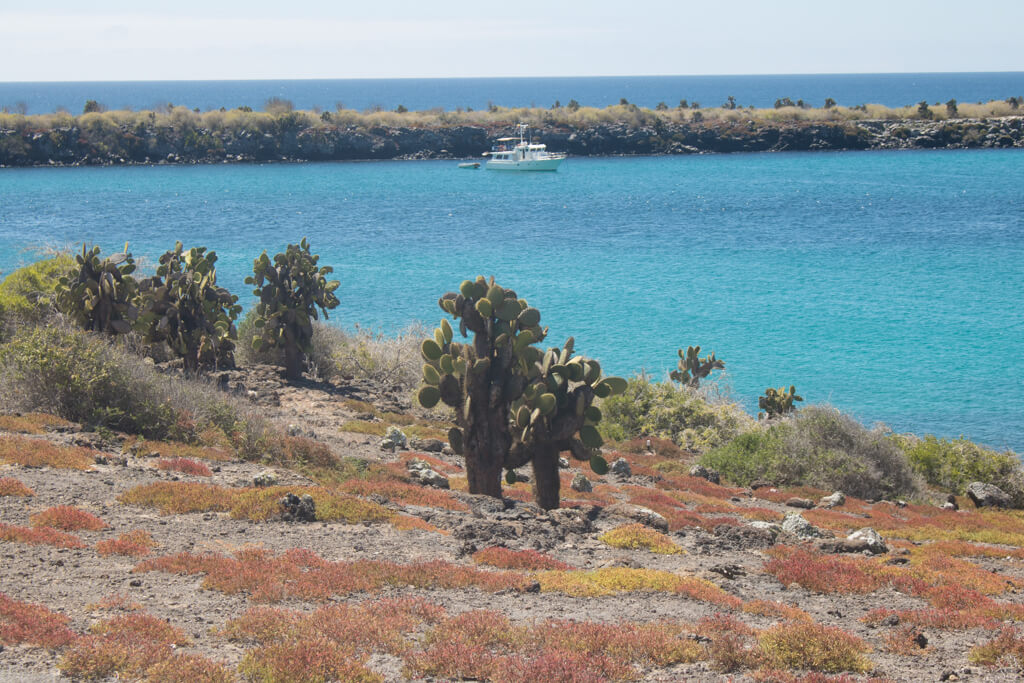 Cacti and sesuvium plants on South Plaza Island, Galapagos