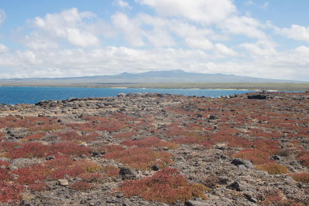 Red sesuvium plants cover South Plaza Island, one of the most popular day trips from Santa Cruz island in the Galapagos