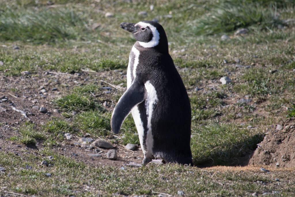 A Magellanic penguin peeks out of its burrow on Isla Magdalena