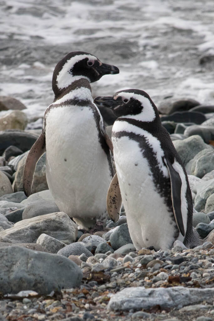 The Magellanic penguins of Isla Magdalena are small and adorable.
