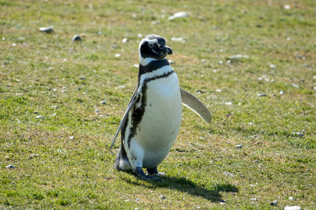 A penguin waddles on Isla Magdalena in Chile
