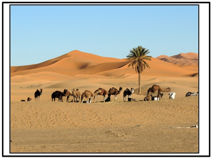 The first view of the camels close to that palm tree was just magnificent.