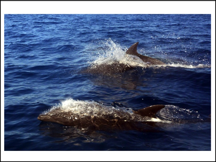 I got this picture of two porpoises that were following our fishing boat near Isla Carmon in the Gulf of California.