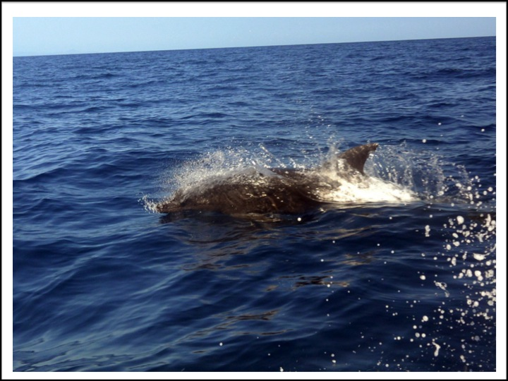 Here is another single porpoise that I caught broaching as we were cruising near Isla Carmon.