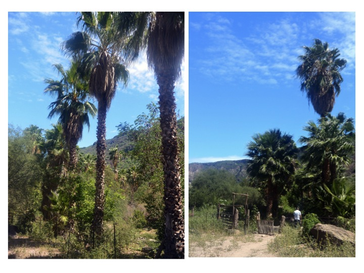 Palms trees growing behind Mission San Javier