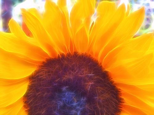 tangled sunflower © lynette sheppard