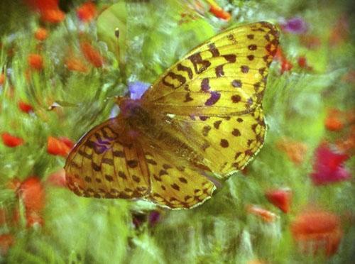 Butterfly Dream © lynette sheppard